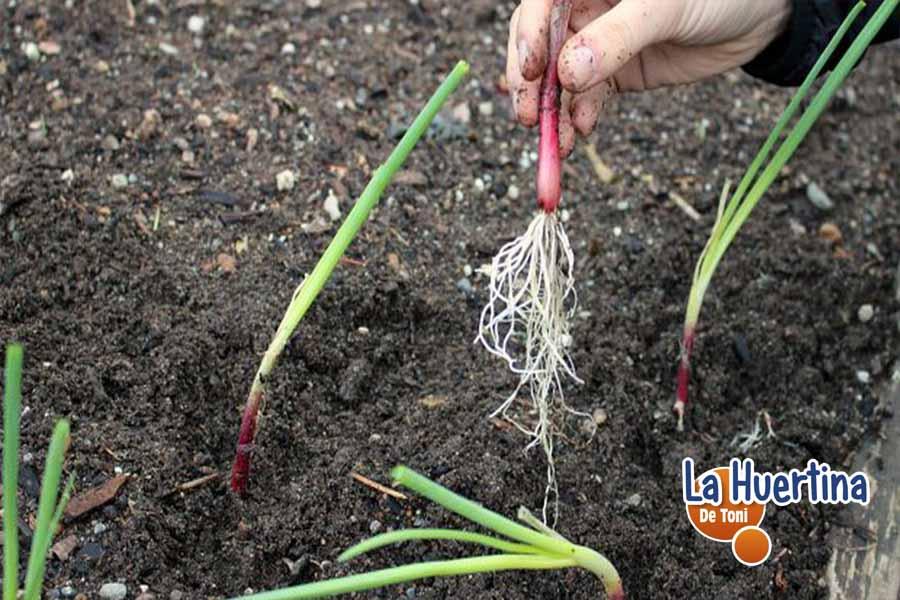 cultivo de las cebollas en el huerto como y cuando plantar sembrar