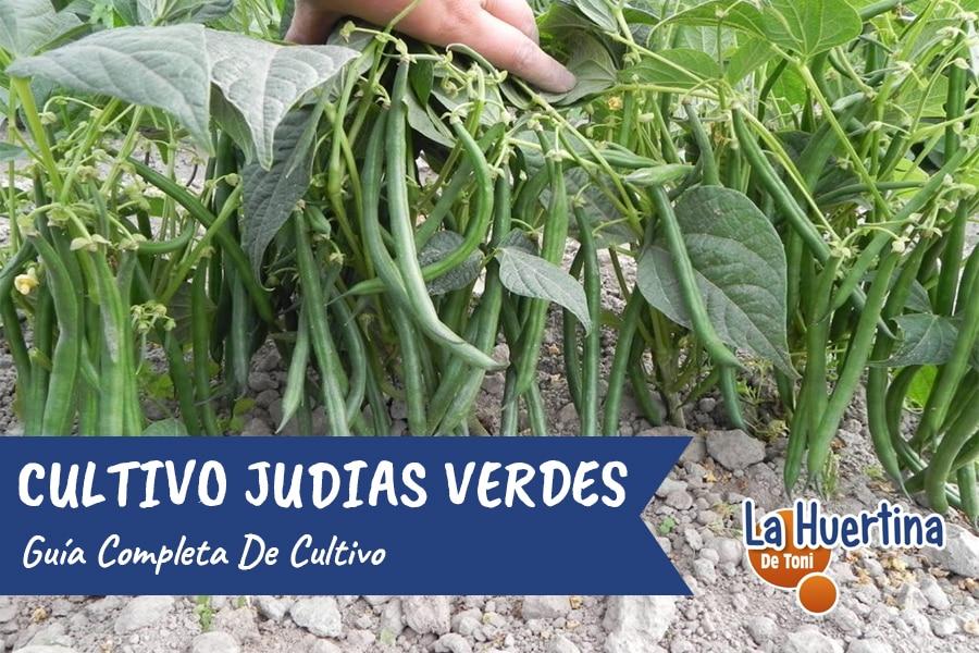 Guía Completa Del Cultivo De Las Judías Verdes ( frijoles ejotes chauchas porotos )