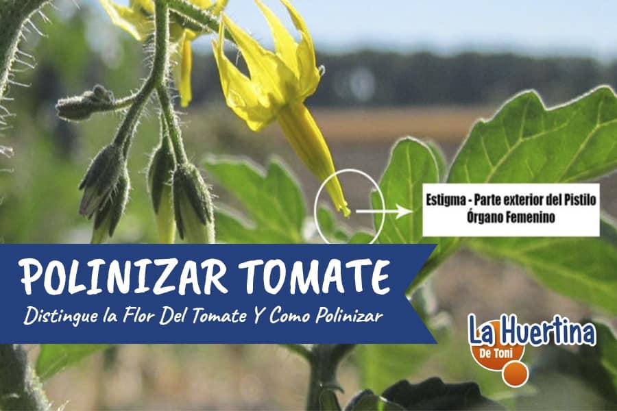 Flor Del Tomate Como polinizar manualmente