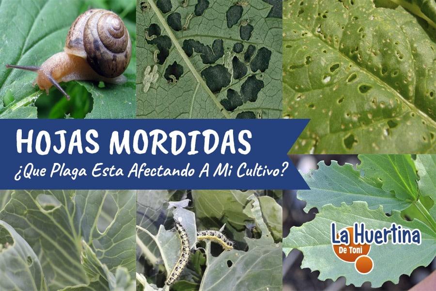 ¿Qué plaga se come las hojas de mis plantas y cómo combatirla?