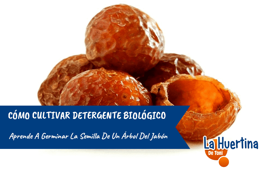 Cómo cultivar detergente biológico: Aprende a germinar la semilla de un árbol del jabón.