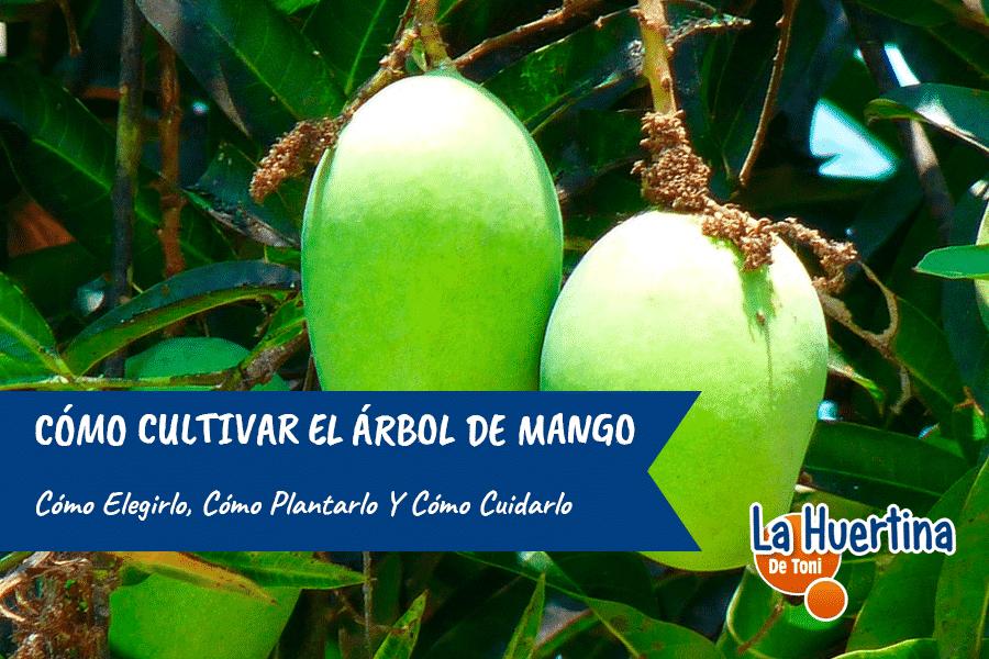 Cómo plantar y cuidar correctamente un árbol de mango.