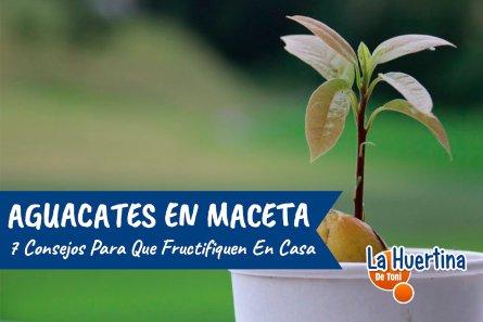 7 Consejos Para El Cultivo Del Aguacate En Maceta Y Que De Fruto