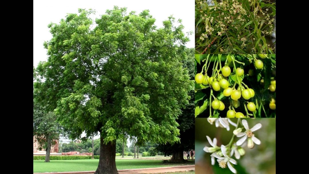 Árbol de Neem con sus hojas, flores y frutos