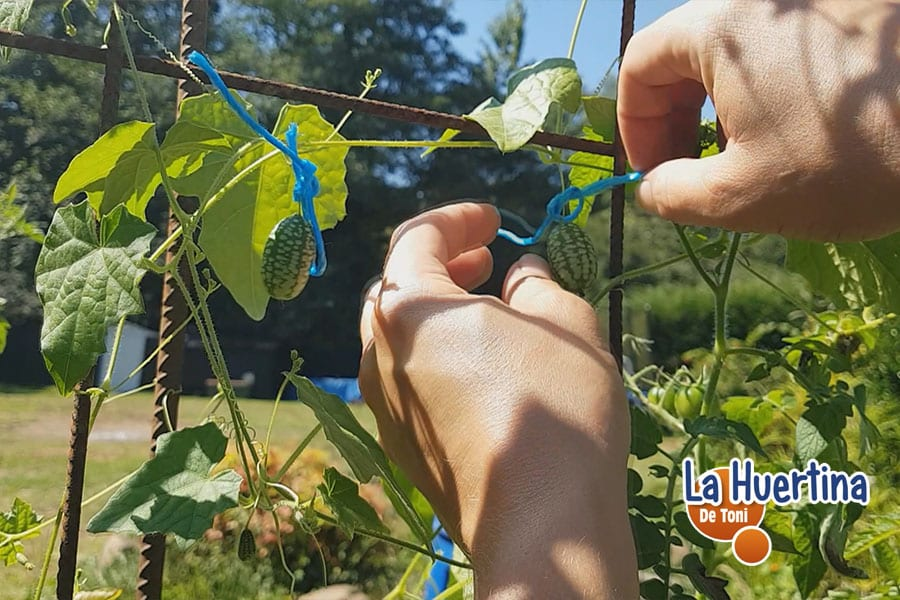 elegir mejores frutos para conservar semilla cucamelon