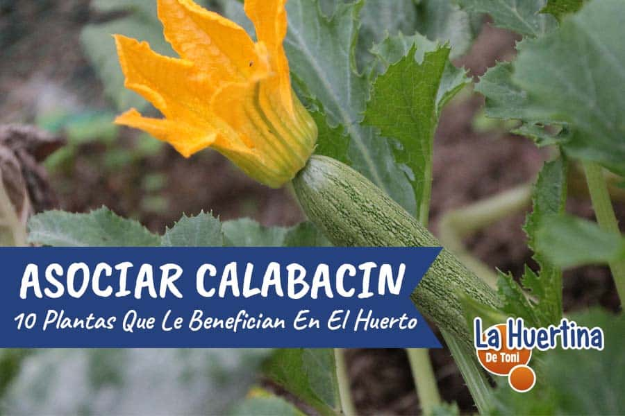 10 plantas que puedes plantar junto al calabacin y 2 que no deberias plantar nunca