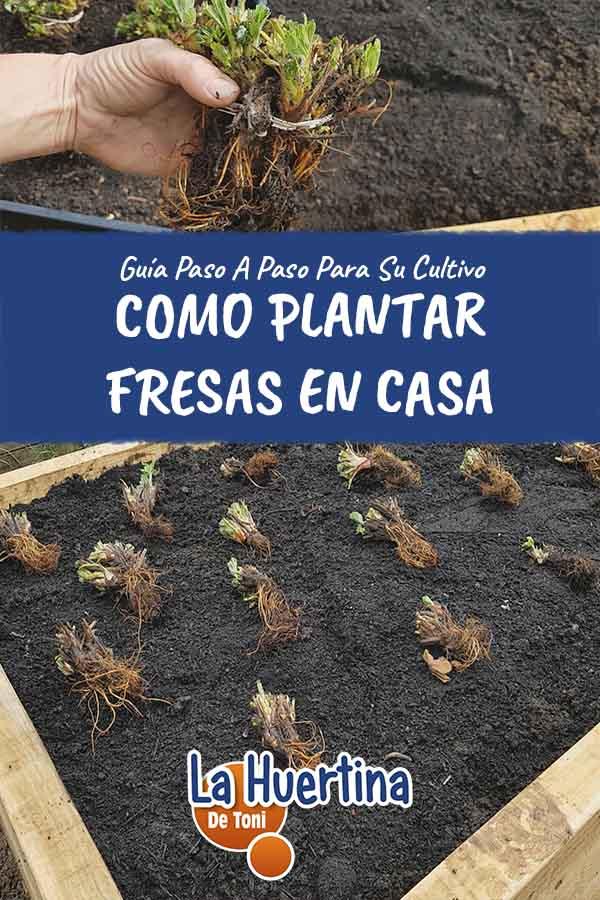 Como Plantar Fresas En Casa o Huerto