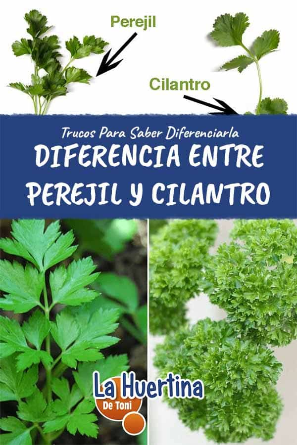 diferenciar perejil y cilantro