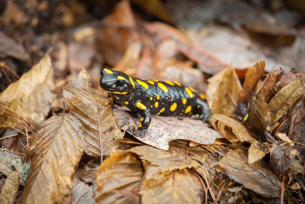 salamandras en el huerto buenas o plaga