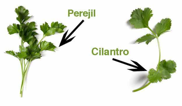 diferencia entre cilantro y perejil