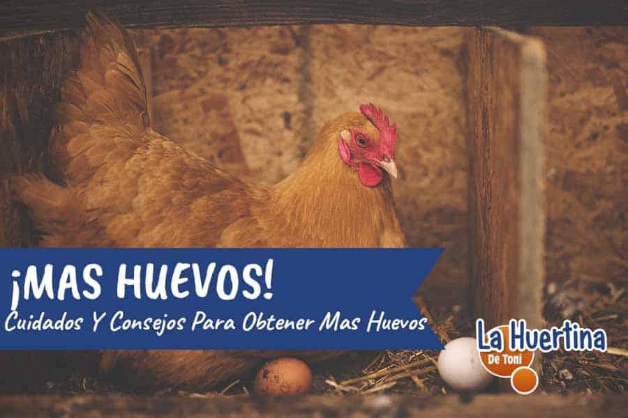 poner mas huevos las gallinas