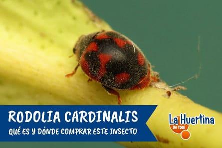 Rodolia Cardinalis comprar