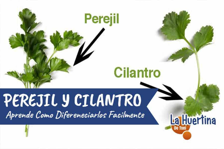 como diferenciar facilmente cilantro y perejil