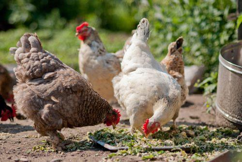 que come la gallina