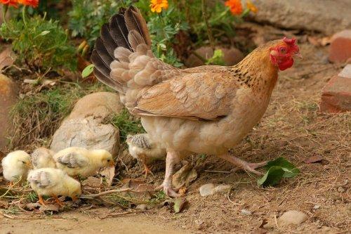 que comen las gallinas