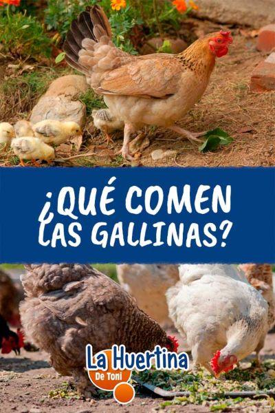 que verduras comen las gallinas