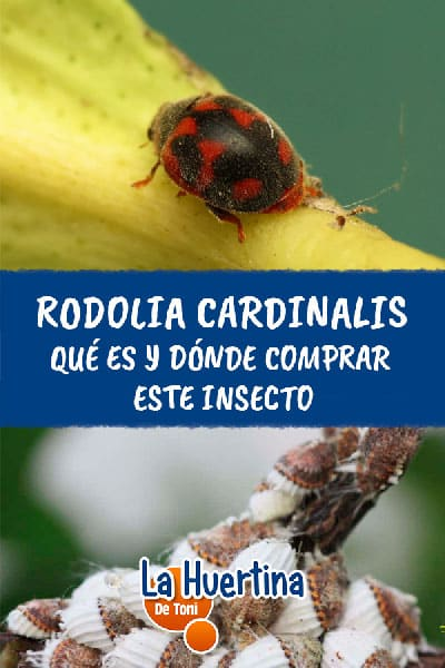 rodolia cardinalis control biologico