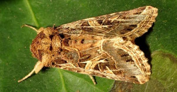 tipos de orugas y sus mariposas