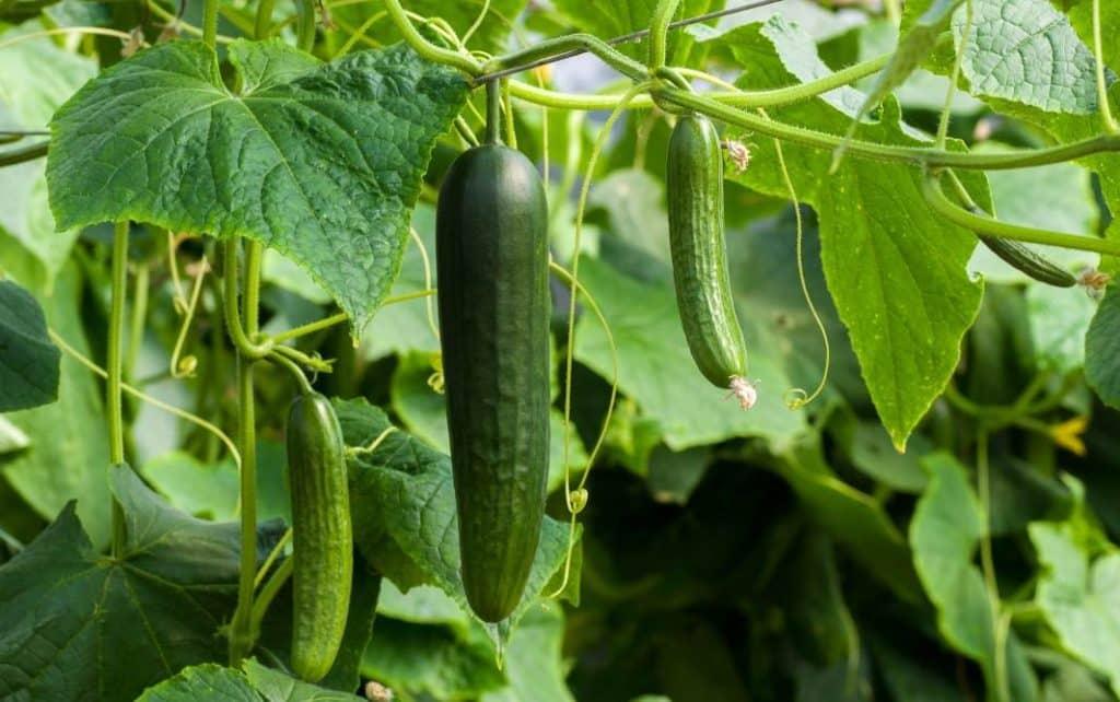 35 Plantas que se pueden Asociar a los Pimientos en la Huerta