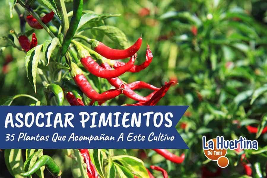 35 plantar para asociar con el pimiento o chile