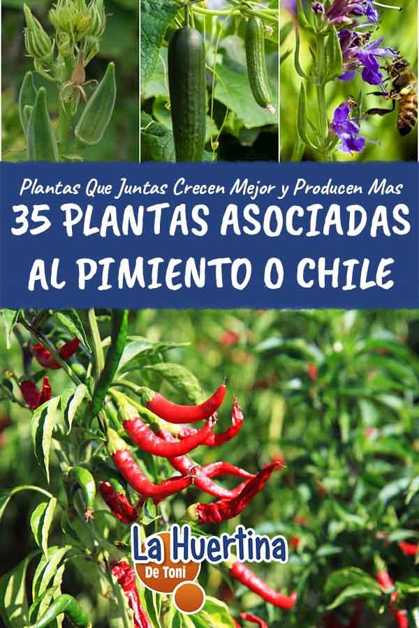 35 plantas cultivar con el pimiento o chile