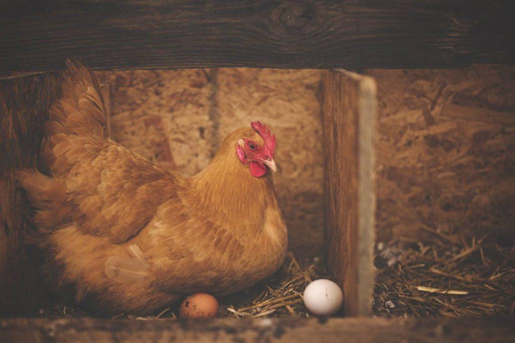 como evitar que las gallinas coman sus huevos