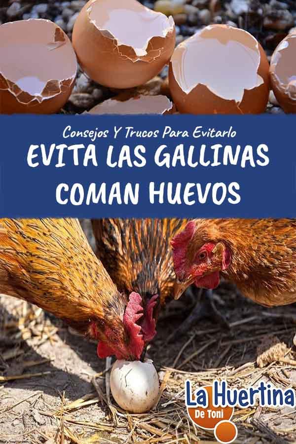como evitar que las gallinas picoteen o coman los huevos