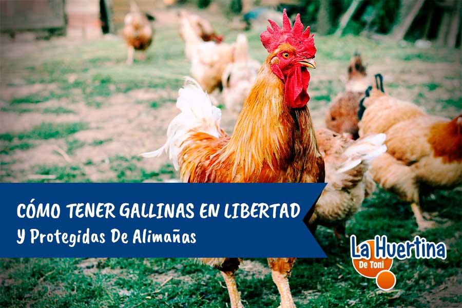 cria de gallinas en libertad