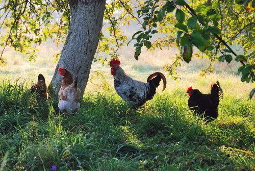 cria gallinas libres