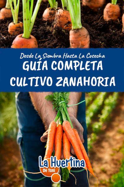 cuando plantar zanahorias