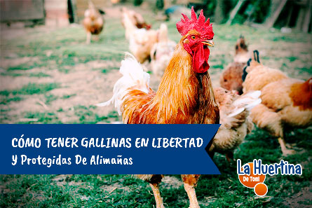 gallinas criadas en libertad