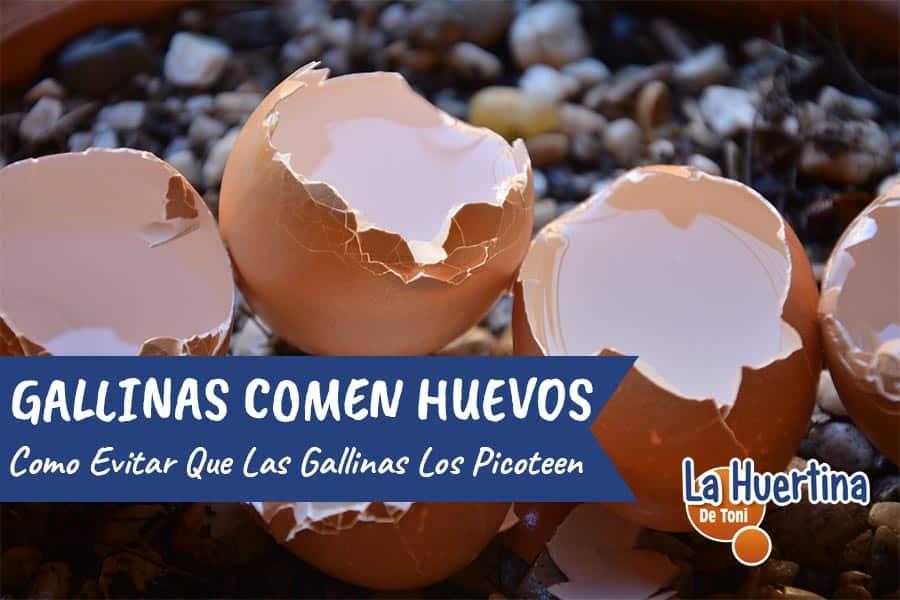 gallinas pican o comen huevos
