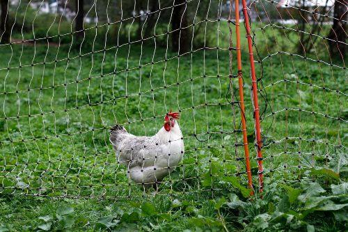 granja de gallinas en libertad