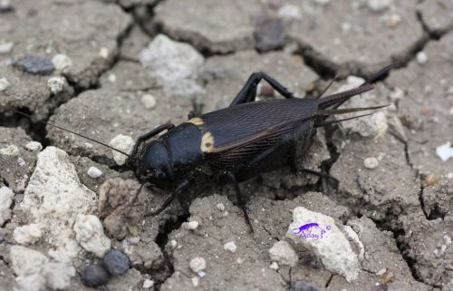 grillo negro macho y hembra