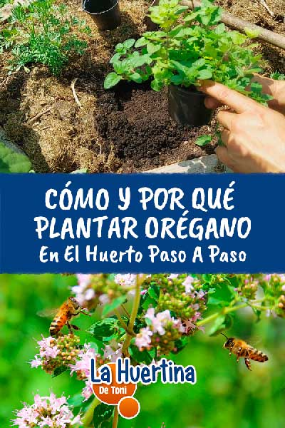 como plantar oregano