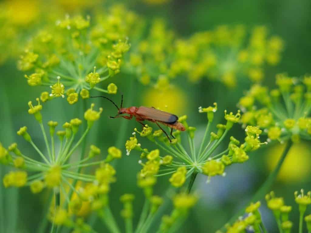 escarabajo coracero