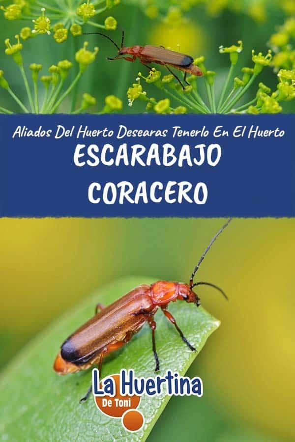 Escarabajo Coracero Aliado perfecto del huerto
