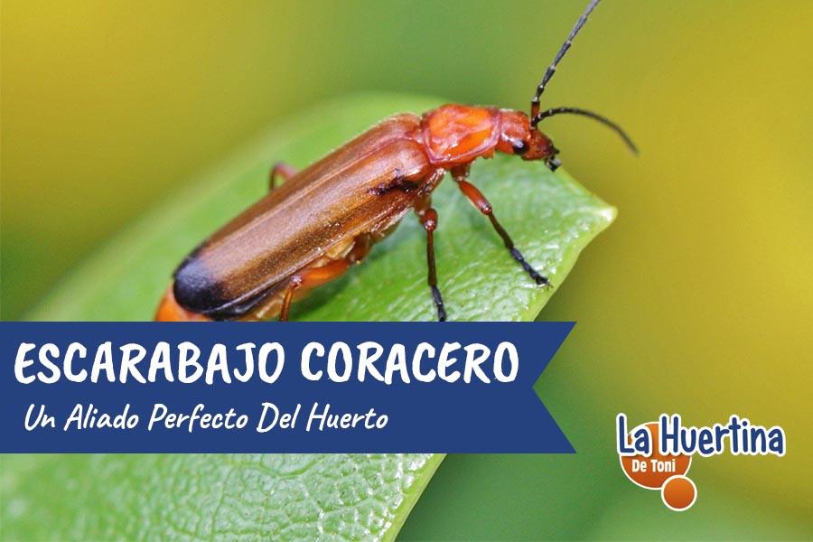 Escarabajo Coracero aliado del huerto