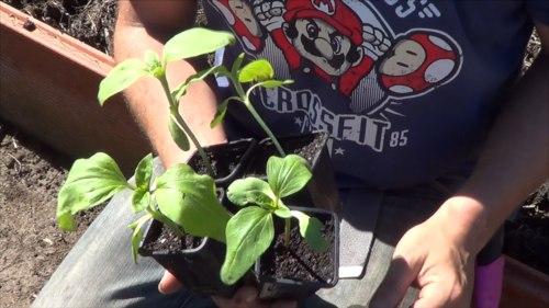 como plantar girasoles