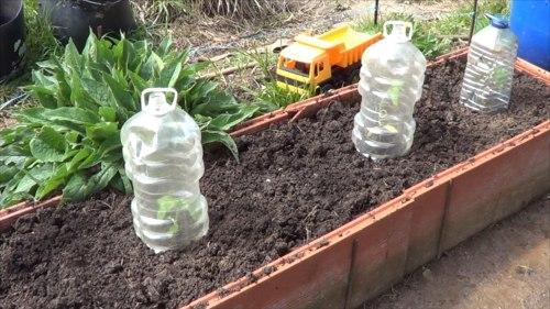 como plantar pipas de girasol