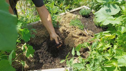como se cultiva el oregano