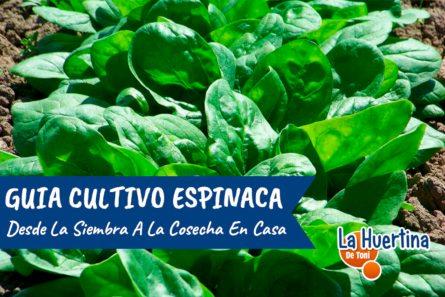 como sembrar espinacas