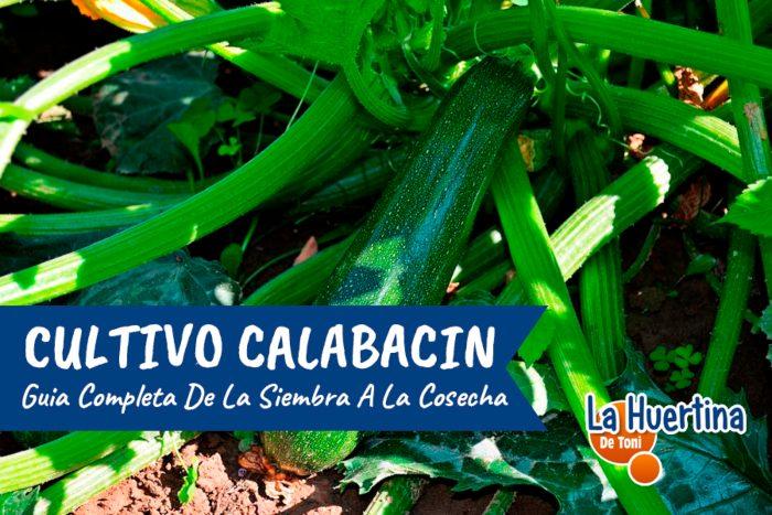 plantar calabacin