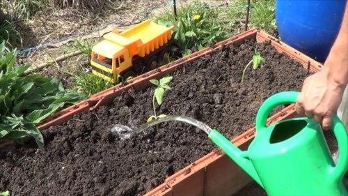 plantar pipas de girasol