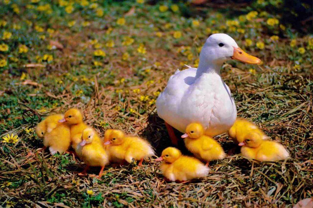 Tener Patos En Vez De Gallinas