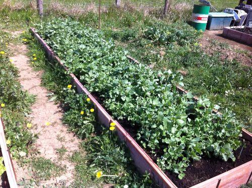 como enterrar abono verde
