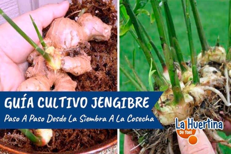 como sembrar jengibre sin semilla