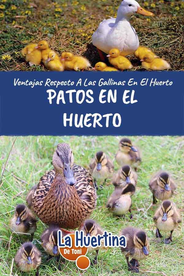 patos en el huerto en vez de gallinas