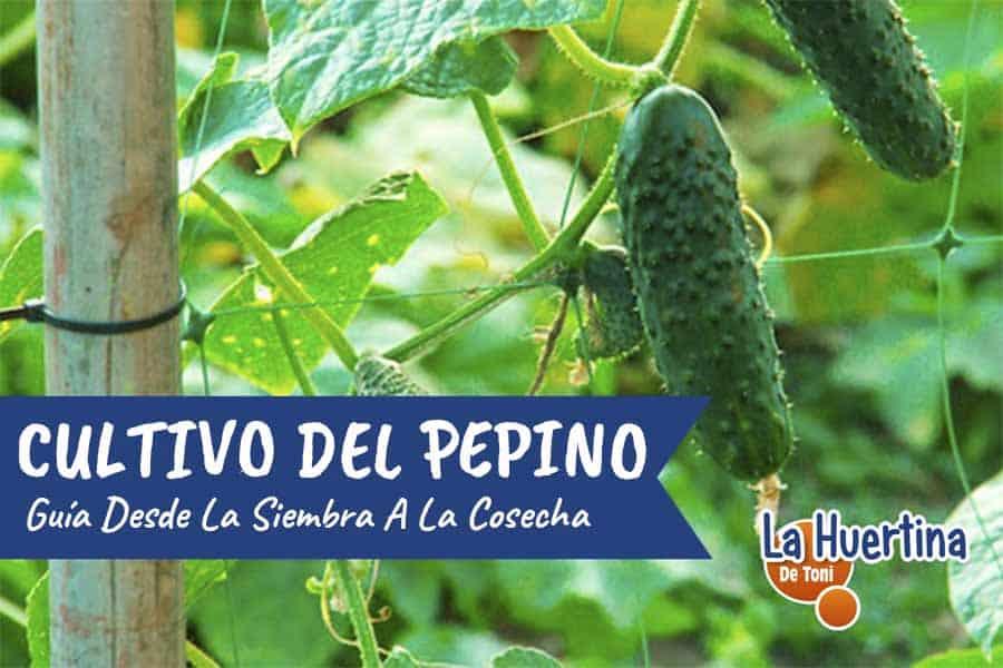 plantar pepinos