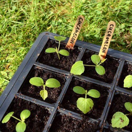 plantar sandia raton